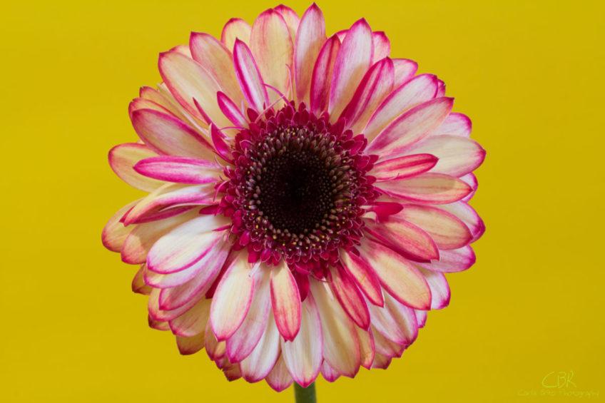 Pink and White Gerbera